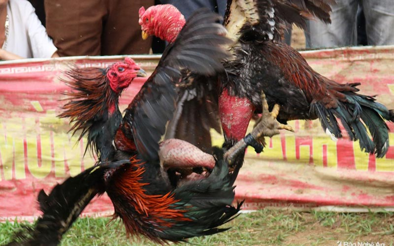 Cách phòng tránh và chữa mốc cho gà chọi vô cùng đơn giản