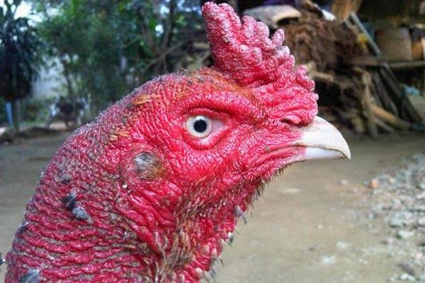Mốc ở gà chọi thường xuất hiện ở đầu và các vùng da dễ bị thương tổn khi đá gà