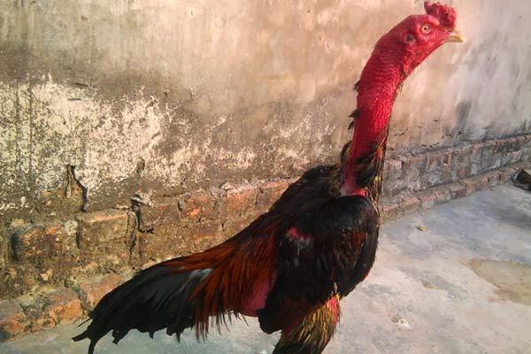 Xem dáng gà chọi là yếu tố quan trọng thứ 3 trong cách xem tướng gà chọi