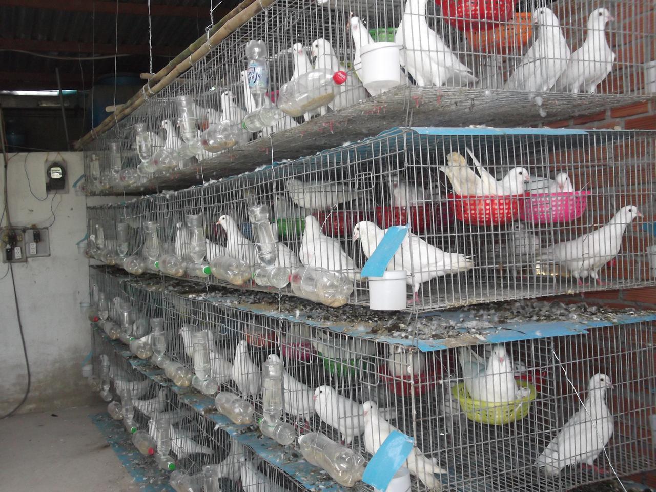 Chăn nuôi bồ câu Pháp hiệu quả kinh tế cao