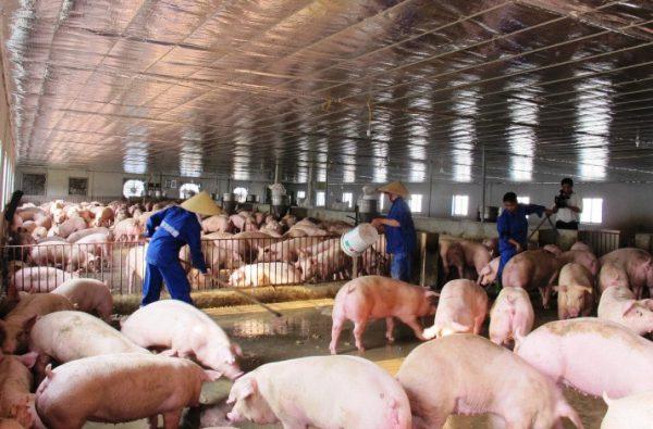 Cách nuôi heo nái và heo thịt đạt hiệu quả kinh tế cao