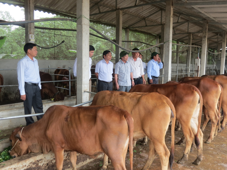Mô hình chăn nuôi bò lấy thịt