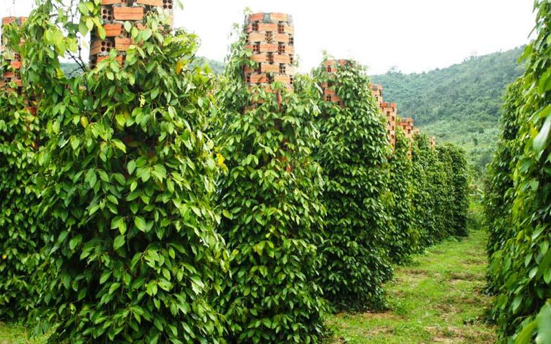 Tìm hiểu trồng cây gì có đầu ra ổn định, có thu nhập cao