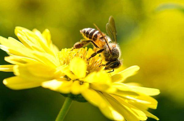 Nuôi ong trong vườn cây ăn quả có lợi gì?